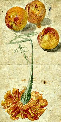 Jan van Huysum  Marigold and Peaches  18th century