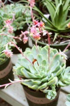 Sedum in Bloom :)