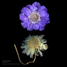 THE OLD and THE NEW SCABIOSA by magdaindigo