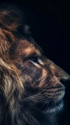 ZdoRodZ Best Picture For Feline anatomy For Your Taste You are looking for something, and it is goin Tier Wallpaper, Dark Wallpaper, Animal Wallpaper, Lion Images, Lion Pictures, Animal Pictures, Beautiful Creatures, Animals Beautiful, Beautiful Beautiful