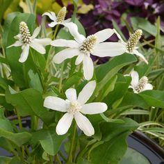 Anemopsis Californica Bog Plant