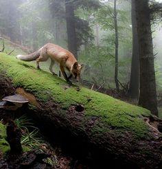 Füchse hören Regenwürmer unter der Erde kriechen und können das Quietschen einer Maus über 70 m weit hören.