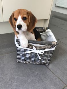 Are you interested in a Beagle? Well, the Beagle is one of the few popular dogs that will adapt much faster to any home. Cute Dogs And Puppies, Pet Dogs, Dog Cat, Pets, Doggies, Baby Beagle, Beagle Puppy, Cute Beagles, Online Pet Supplies