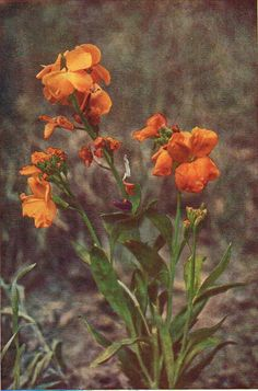 Wallflower - Antique 1912 Botanical Wild Flower Print by H Essenhigh Corke