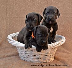 Brothers Black Great Dane Puppy, Black Great Danes, Dane Puppies, Labrador Retriever, Labrador Retrievers, Labrador, Labrador Retriever Dog