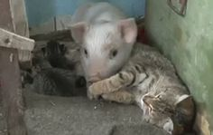 orphan piglet adopted by mother cat