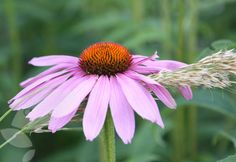 Echinacea purpurea. 1.5 x 0.45 Full Sun June-Sept most soils except very dry, or boggy.