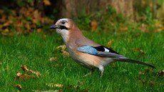 ♫ Arrendajo Euroasiático - Escucha la voz del pájaro
