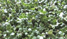 Brotes de brócoli desintoxican el organismo de manera máseficiente