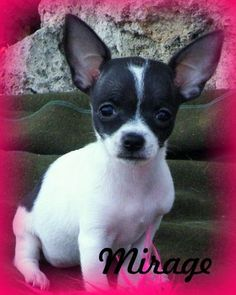 Check out Mirage's profile on AllPaws.com and help her get adopted! Mirage is an adorable Dog that needs a new home. https://www.allpaws.com/adopt-a-dog/toy-fox-terrier-mix-chihuahua/6105768?social_ref=pinterest