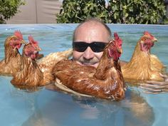Some pool time with grandpa LMAO! I've never seen chickens in a swimming pool! :D Awesomeness! Cute Chickens, Keeping Chickens, Chickens And Roosters, Raising Chickens, Chickens Backyard, Farm Animals, Funny Animals, Cute Animals, Swimming Chicken