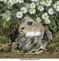 Stock Photography of Chinese Hamster (Cricetulus barabensis griseus).Female suckling young in a meadow with Common Daisies 176850 - Search Stock Photos, Pictures, Wall Murals, Images, and Photo Clipart - 176850.JPG