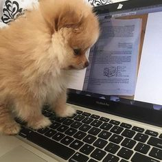Marvelous Pomeranian Does Your Dog Measure Up and Does It Matter Characteristics. All About Pomeranian Does Your Dog Measure Up and Does It Matter Characteristics. Cute Puppies, Cute Dogs, Dogs And Puppies, Doggies, Corgi Puppies, Cute Baby Animals, Animals And Pets, Save A Dog, Lap Dogs