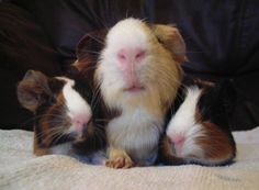Proud mummy piggy and her baby guinea pigs z at Milhaven Guinea Pig rescue. Xx