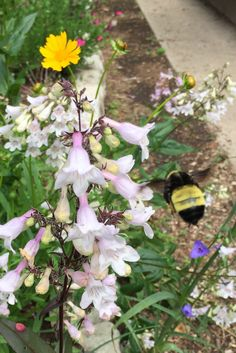 Bumble Bee and Penstemon - Photo by CS Lent