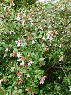 'Edward Goucher' glossy abelia blooms all summer with pink bell-shape flowers. It is hardy in Zones 6 through 9