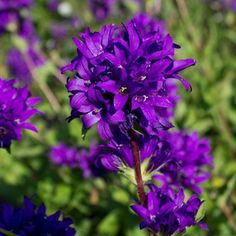 Violet:  Violet flower is the flower of U.S.A and Greece and is named after the blue purple flower.