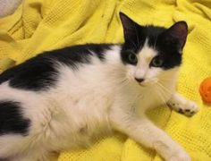 Miss Kitty is an adoptable Domestic Short Hair-Black And White Cat in Emporia, KS. If interested in adopting a pet you will need to fill out a request to adopt. This needs to be on file overnight befo...