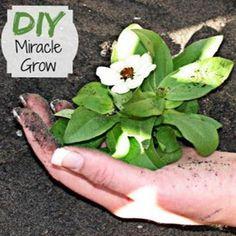 DIY Miracle Grow 1 gallon of water1 tbsp epsom salt1 tsp baking soda1/2 tsp of Household ammonia. Mix all ingredients together and use once a month on