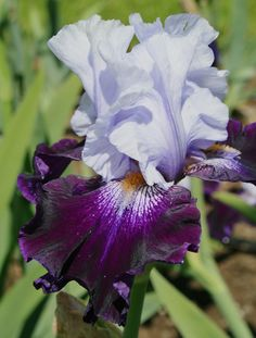 TB Iris germanica 'Tempting Fate' (Meek, 1993)