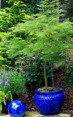 Japanese maples in bright-colored pots Japanese Maple Garden, Japanese Garden Design, Small Garden Design, Patio Trees, Potted Trees, Trees To Plant, Container Plants, Container Gardening, Specimen Trees