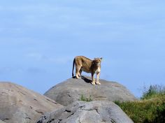 Leeuwin in Wildlands, Adventure Zoo Emmen.