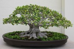 Ginseng Ficus: The Perfect Bonsai Tree for the Beginner