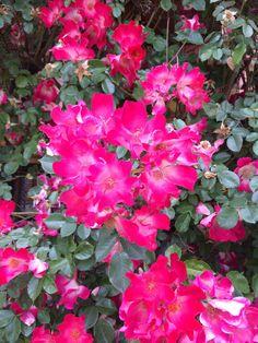 Rosas de pétalos simples