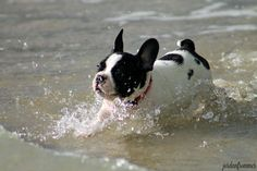 Frenchie at the beach.