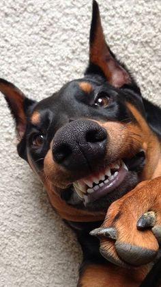 cheese! #Doberman smile