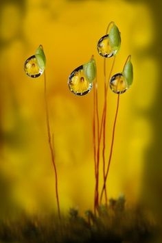 Moss sporophytes [Setae and Capsules] with reflecting water droplets