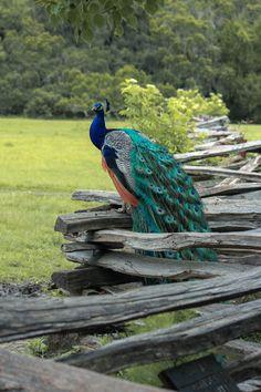 peacock | bird photography #peafowl