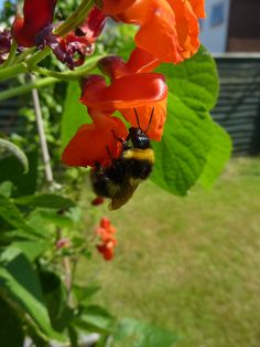 A bee pollinating my runner beans