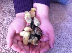 Button Quail chicks. I need them. Give them to me now, please.