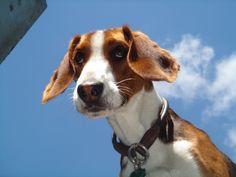 Deutsche Bracke, this dog breed originated from Westphalia, a region of Germany.