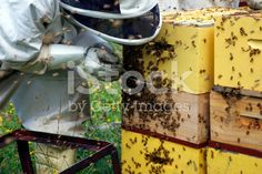 Apiarist working with Beehives royalty-free stock photo He Hive, Harvesting Honey, Agriculture Photos, Stock Imagery, Save The Bees, Bee Keeping, Royalty Free Stock Photos, Beekeeping