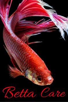 20 interesting betta fish facts to better know your betta for Betta fish care guide