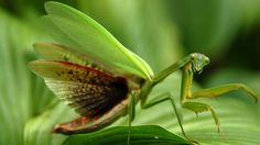 "The Praying Mantis is thought to still shake because he was beaten for Anasazi's crime.   Image Source: ""Praying Mantis."" Praying Mantis. N.p., n.d. Web. 03 May 2016. <http://kids.nationalgeographic.com/animals/praying-mantis/>."