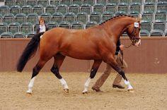 Cassiola Kathiyawadi Horse, Horse Ears, Marwari Horses, Types Of Horses, English Riding, Show Jumping, Unique Animals, Horse Photography, Dressage