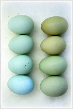 Araucana eggs. Lovely.