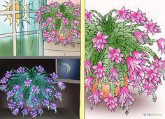 christmas cactus thor alice schlumbergera easy to grow 5 double segments christmas. Black Bedroom Furniture Sets. Home Design Ideas