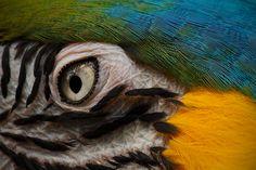parrot eye close-up Eye Close Up, Parrot, Animals, Parrot Bird, Animales, Animaux, Animal, Animais, Parrots