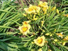 Daylilies at Mazie's Garden