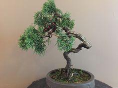 10 - Juniperus (01/2016)