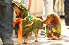 And this dog DRESSED AS A CROCODILE. | 17 Incredible Pictures Of Costumed Sausage Dogs Racing Each Other