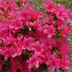 Azalea japonica 'Amoenum'