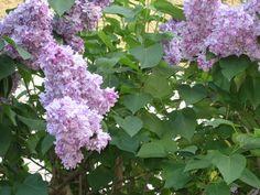 Lilás Plants, Spring, Flowers, Flora, Plant