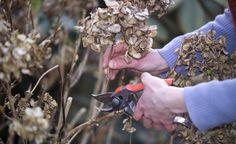 Hortensien richtig schneiden - Beim Schneiden von Hortensien sind viele Hobbygärtner unsicher. Der Schnitt ist nicht schwierig, man muss nur die Hortensien-Art kennen. So werden Hortensien richtig geschnitten.