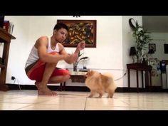 Grooming the Show Pomeranian (part two) - YouTube