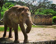 """Compartido por @keeilych. """"Hoy pasó algo BONITO! Cientos de personas se movilizaron para donar alimentos al elefante del Parque Zoológico de Caricuao por una iniciativa que fue apoyada y difundida por proteccionistas de todo el país. . Dichos alimentos no fueron recibidos. El coordinador del Parque: Erick Lenarduzzi explicó que no podía recibirlos porque es su responsabilidad que los alimentos suministrados a los animales cumplan con una serie de normas sanitarias. Además alega que el estado…"""